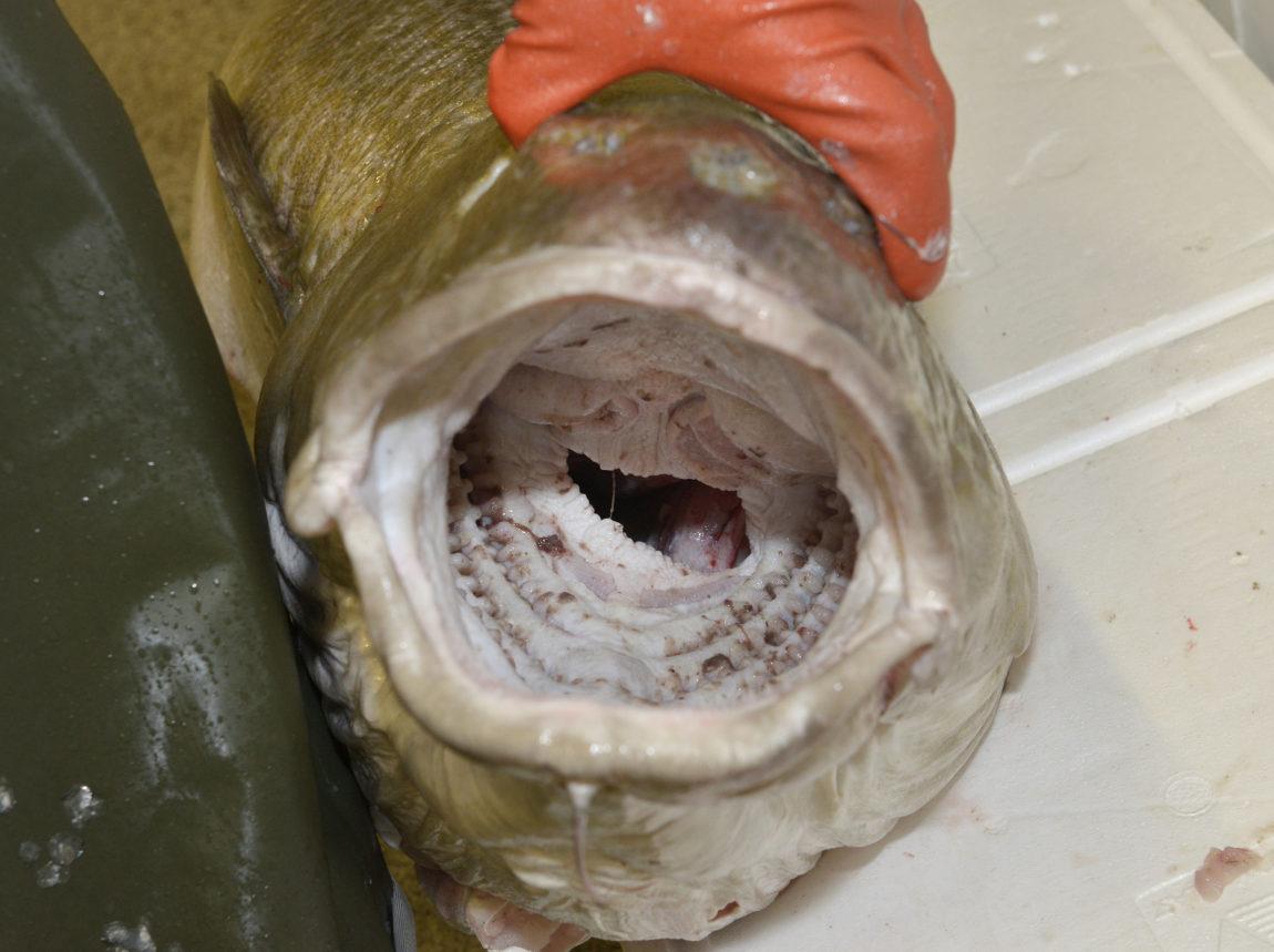 Bara huvudet var fast i maskorna när torsken kom upp ur djupet, berättar Ben Nylund