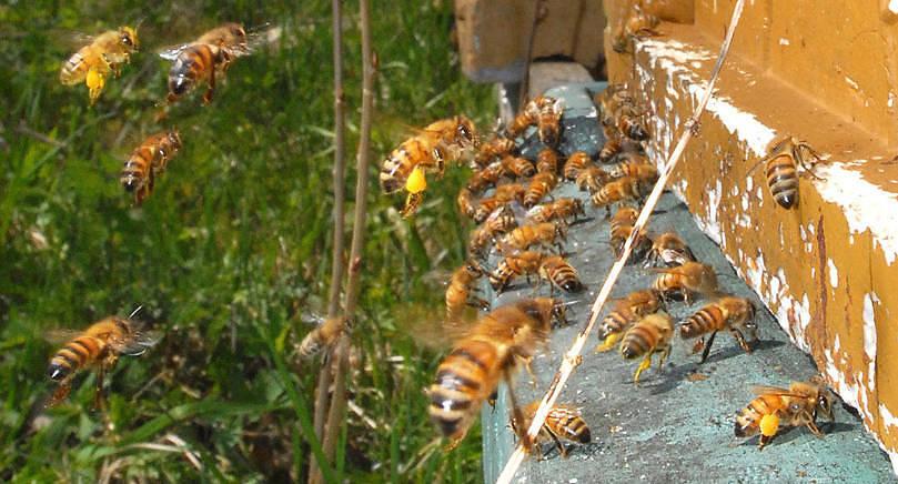 FRISKA BIN De åländska bina lever ett skyddat liv jämfört med andra på vår jord. Men om några år kan de vara slut på det, ny lagstiftning hotar de åländska binas särställning.