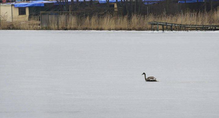 FRUSEN En läsare som sett en fastfrusen svan hörde av sig till Nya Åland. Jörgen Eriksson säger att det är helt normalt att svanar ibland fryser fast i isen.