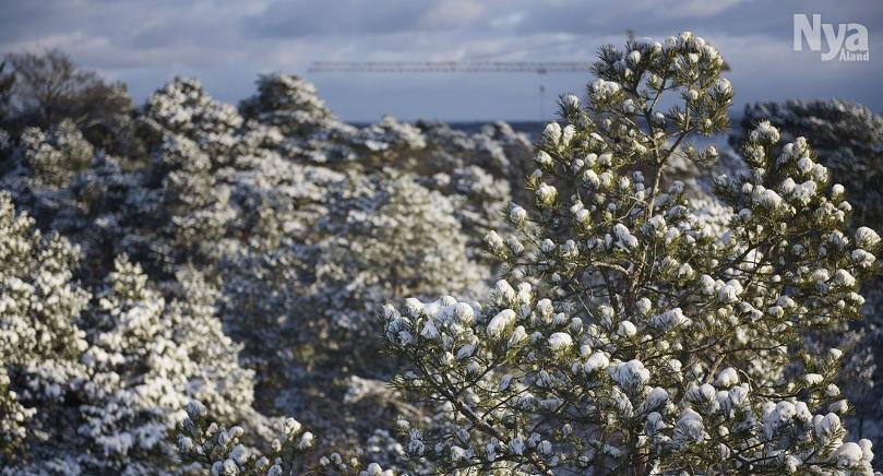 Snön liknar sockervadd som fastnat i grenarna.