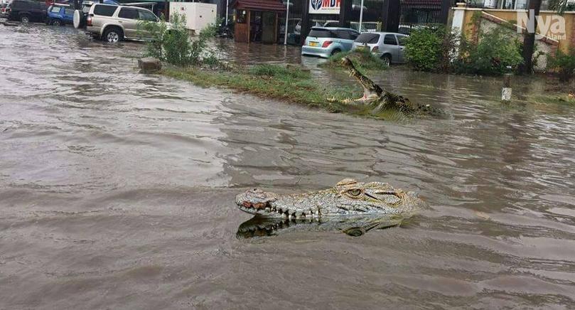 KROKODILVARNING Regnen orsakade en flod att svämma över. Här syns två krokodiler som tagit sig från floden ut på en gata.
