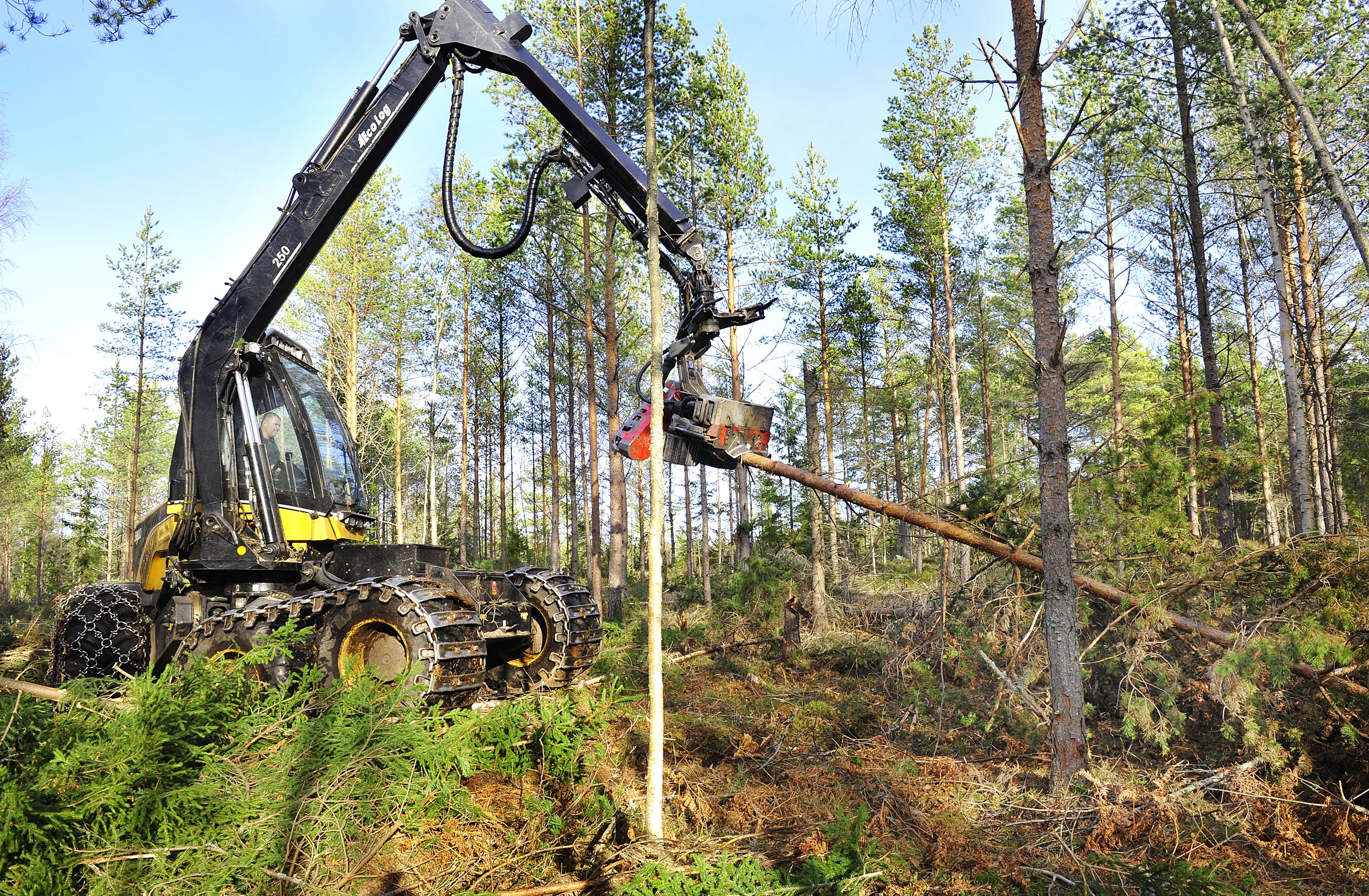 Det ligger fortsättningsvis Alfridavirke i skogarna och även om kvalitetsförsämringen inte var så farlig som man trodde så vill man få ut det mesta innan hösten.