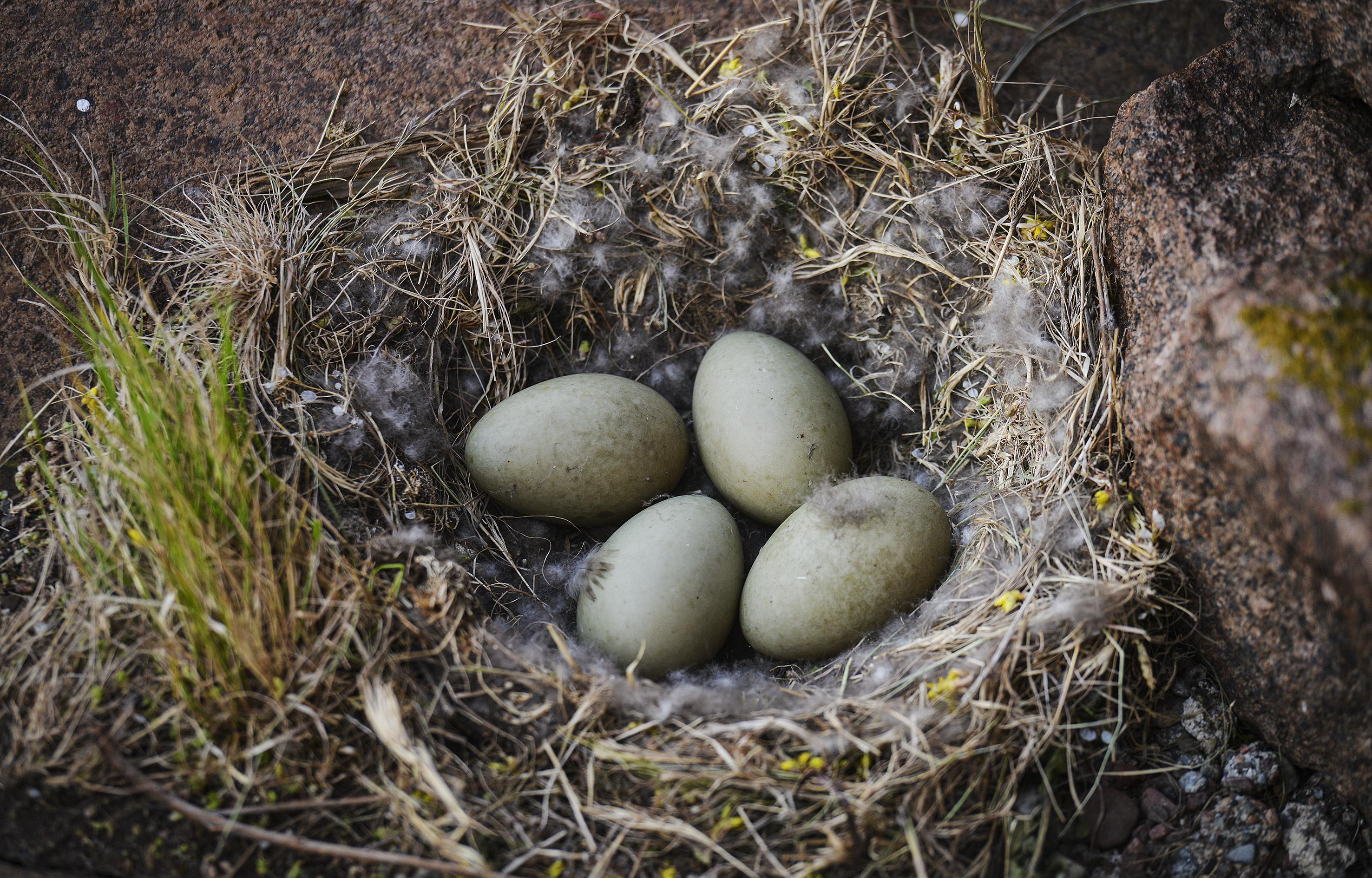 Utan ådtak är ejderns ägg en lättfångad lunch för predatorer.