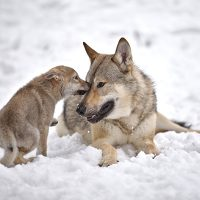 Mid content American wolfdog valpar